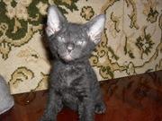 Продаются очаровательные ушастики -  котята донского сфинкса