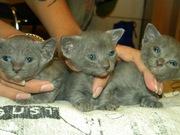Продаются  ушастики -  котята донского сфинкса