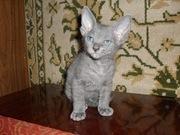 Продаются котята  сфинкса донского