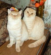 Мраморные британские и шотландские котята