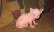 Сфинкс,  котята