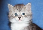 Сибирские котята серебрунчики из питомника  Из Лунной Серенады