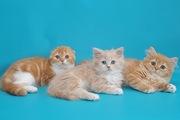 Шотландские котята хайленды красные