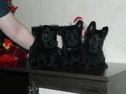 Скотч-терьера очаровательные щенки в Беларуси