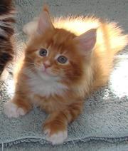 Продаются мейн кун котята из Пит-ка МистерКун.