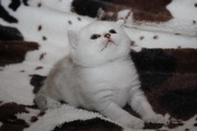 Британские котята шиншиллы-серебро от Чемпионов из Санкт-Петербурга