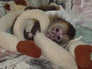 Два капуцин обезьян 1 Мужской и 1 самку