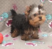 Йоркширский терьер красивый щенок мини