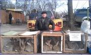 Кролики крупных мясных пород. Немецкий Ризен