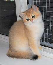 Британские золотые котята,  Санкт-Петербург