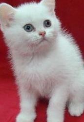 Британские котята от титулованных родителей